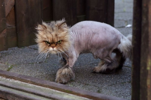 Couldn't find a shaved pig, they're pretty hairless as it is, so this angry cat will have to do.